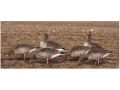 Product detail of GHG Elite Fully Flocked Full Body Specklebelly Goose Decoys Harvester Pack of 6