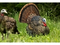 Thumbnail Image: Product detail of Avian-X LCD Strutter Turkey Decoy
