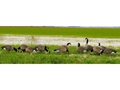 Product detail of GHG Tim Newbold Signature Series Lesser Goose Decoys Harvester Pack of 12