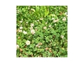 Product detail of Biologic Clover Plus Perennial Food Plot Seed 50 lb