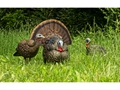 Product detail of Avian-X LCD Strutter Collapsible Turkey Decoy