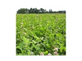 Thumbnail Image: Product detail of BioLogic Clover Plus Perennial Food Plot Seed 50 lb