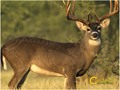 "Caldwell ""The Natural Series"" Whitetail Deer Target"