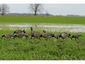 GHG Tim Newbold Signature Series Cackler Goose Decoys Harvester Pack of 12