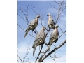 Edge by Expedite Clip-on Dove Decoy Polymer Pack of 4
