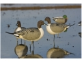 Product detail of GHG Oversize Full Body Pintail Duck Decoys Active Pack of 4