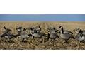 GHG FFD Elite Honker Harvester Full Body Goose Decoy Pack of 6