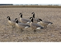 Avian-X Painted Lesser Canada Active Goose Decoy Pack of 6