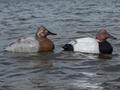 Tanglefree Migration Edition Canvasback Duck Decoy Pack of 6