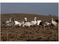 GHG Pro-Grade Full Body Snow Goose Decoys Harvester Pack of 12