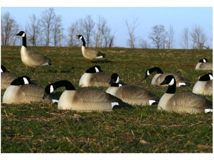 Flambeau Storm Front Flocked Head Canada Goose Sleeper/Rester Pack Shell Decoys Pack of 12