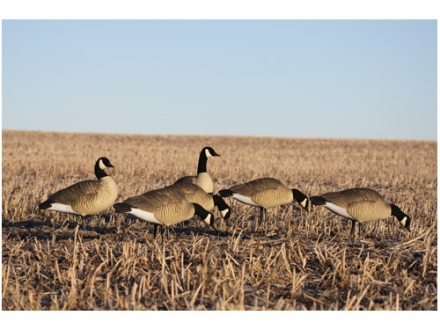 GHG Hunter Series Full Body Canada Goose Decoys Looker Pack of 4