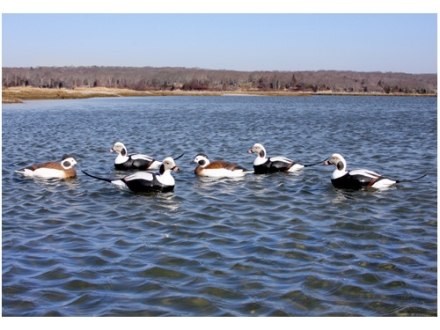 GHG Commercial Grade Weighted Keel Foam Filled Long-Tailed Duck Decoys Harvester Pack of 6