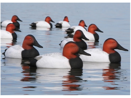 GHG Oversize Weighted Keel Canvasback Duck Decoys Pack of 6