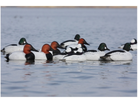 GHG Oversize Weighted Keel Diver Pack Duck Decoys Pack of 6