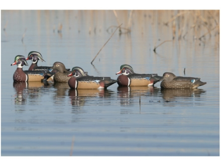 GHG Pro-Grade Weighted Keel Wood Duck Decoys Harvester Pack of 6