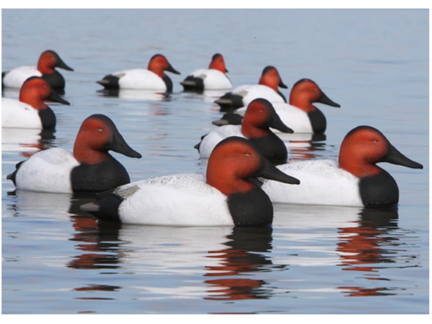 GHG Over-Size Weighted Keel Canvasback Duck Decoys Pack of 6
