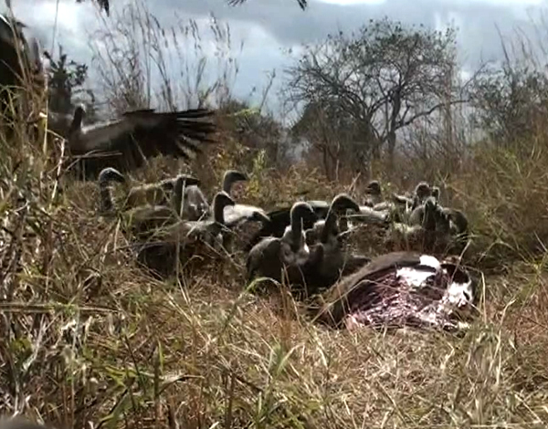 The vultures – on the ground and landing.  The noise was unbelievable.