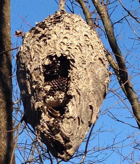The bald-faced hornet nest.  Birds have begun to tear it apart, exposing the inner workings.