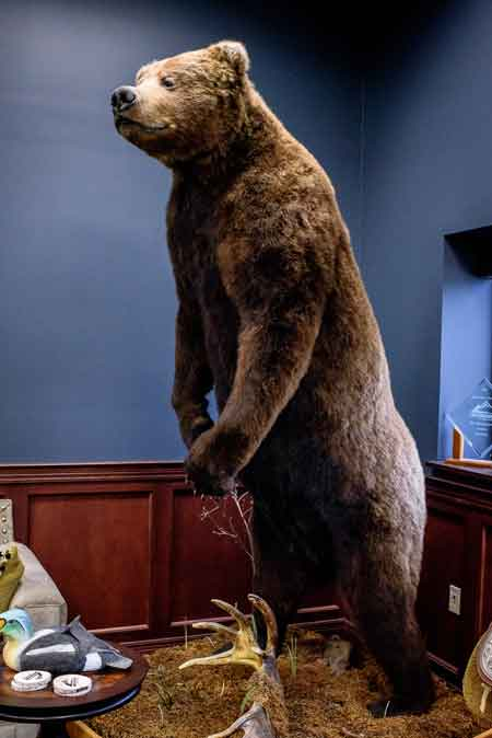 For most visitors, this big Brown Bear mount is the first thing they notice; it stands in the far corner – opposite the entrance.  He's a ten footer, taken in Alaska in 2009.