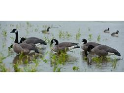 GHG Commercial Grade Full Body Harvester Pack Canada Goose Decoy Pack of 6
