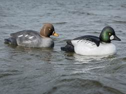 Tanglefree Migration Edition Golden Eye Duck Decoy Pack of 6