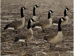 Avian-X Flocked Honkers Sentry Canada Goose Decoy Pack of 6