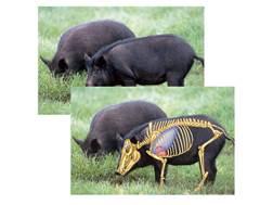 "Safari Press Perfect Shot North American Target Feral Hog 24"" x 36"" Package of 5"