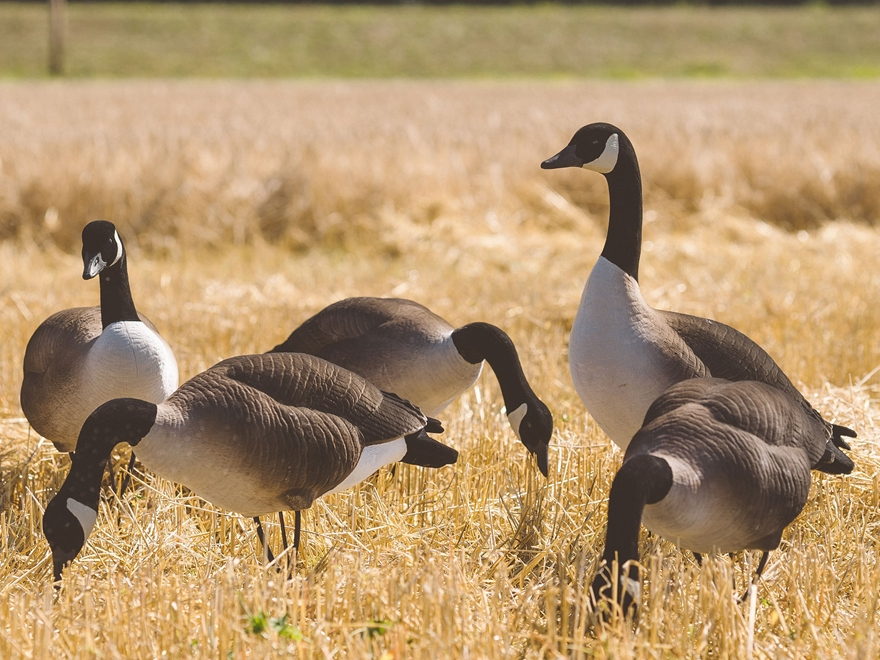 Tanglefree Pro Series Greater Goose Decoy Full Body Fully Flocked Combo Decoy Pack of 4