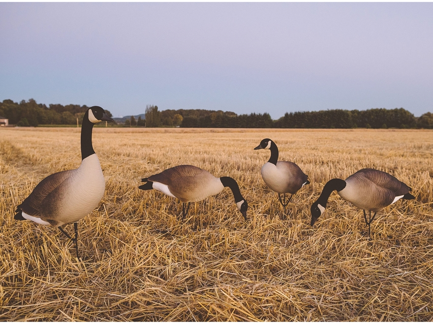 Tanglefree Pro Series Greater Goose Decoy Full Body Combo Decoy Pack of 4