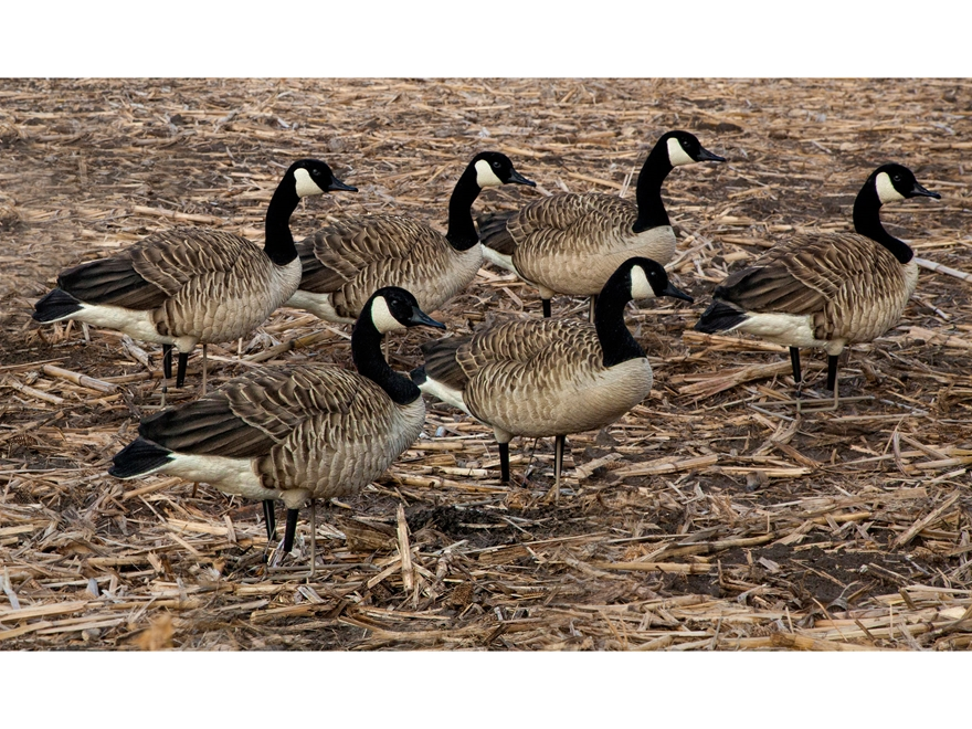Avian-X Painted Honkers Walker Canada Goose Decoy Pack of 6